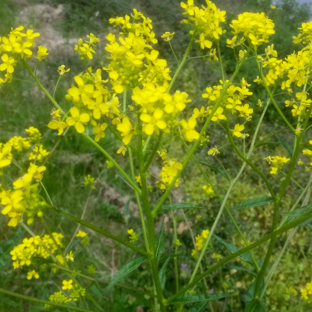 Ook een favouriet is koolzaad. De bloemetjes gaan zo hop in één hap naar binnen en zijn lekker zoet.