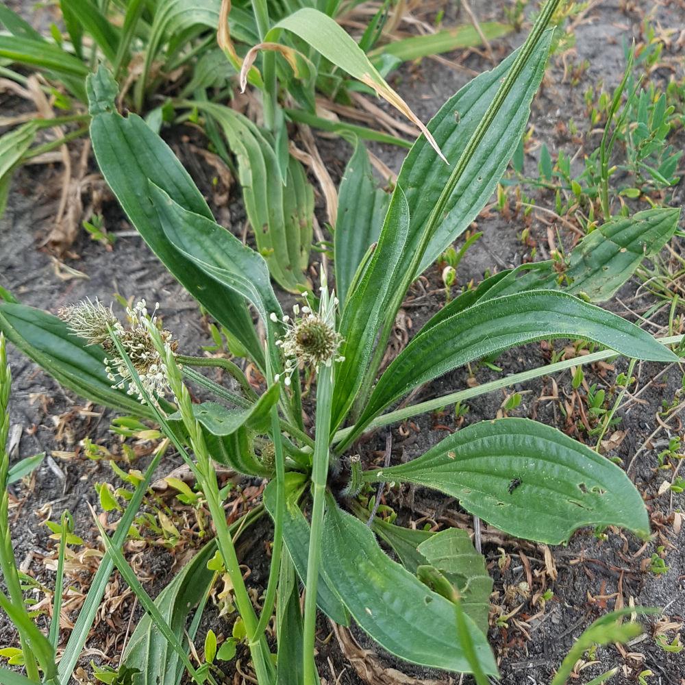 Je moet er van houden, maar de blaadjes van de  Lange Weegbree is de lekkerste van de twee Weegbree soorten.