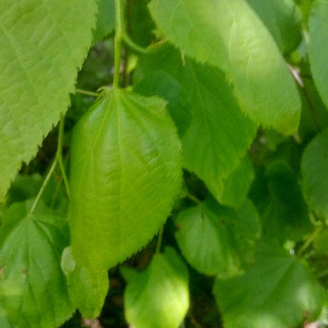 Staat er ergens een lindeboom? Ga dan eens op zoek naar de kleinste groenste blaadjes die aan het uiteinde van takken onderin zit. Hmmmm, lekker lang op kauwen en er komt een zachte smaak naar boven.