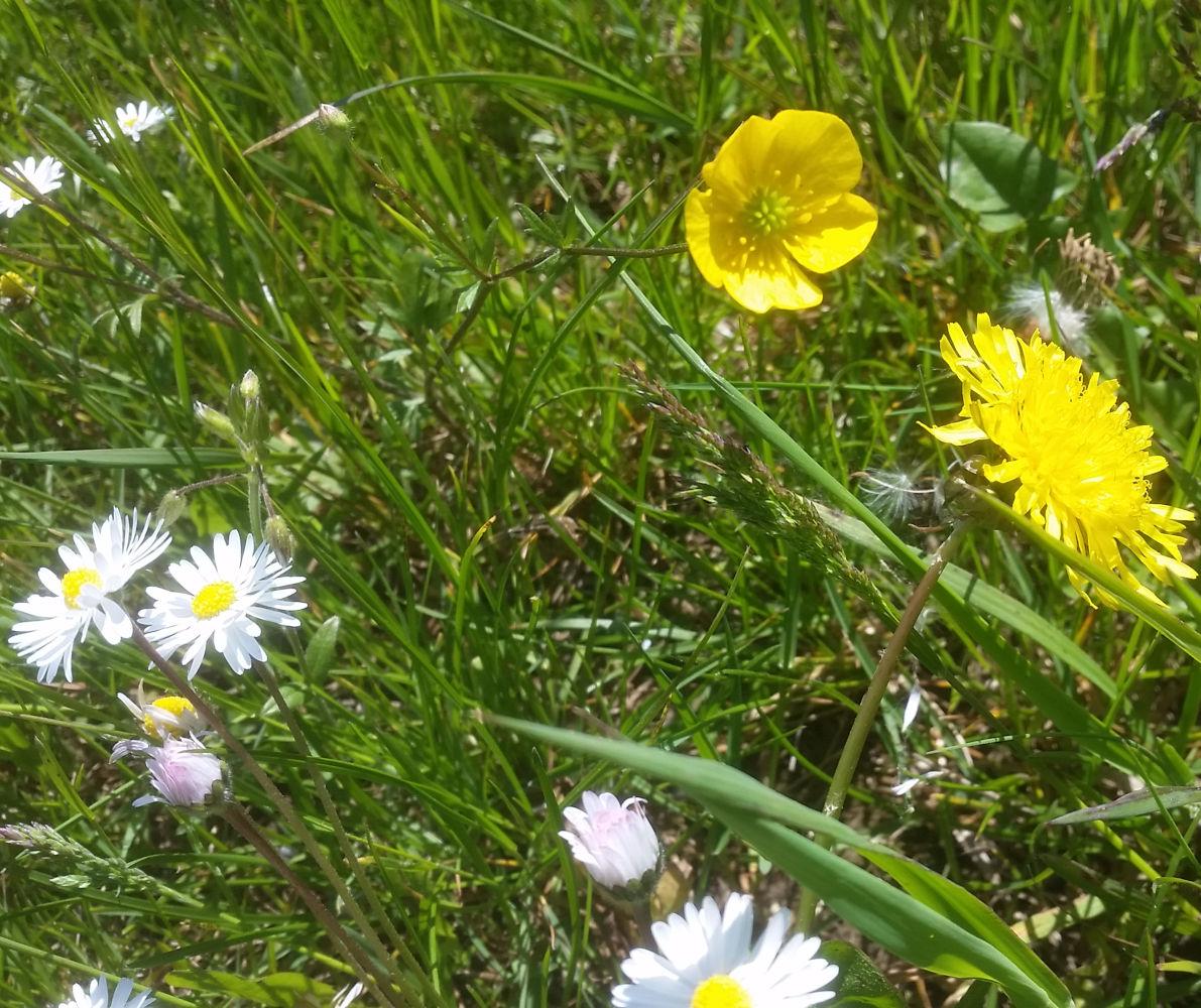 De bloem van de madelief is heerlijk, net zoals de gele bloem van de paardebloem. Eet echter nooit boterbloem, deze is giftig.