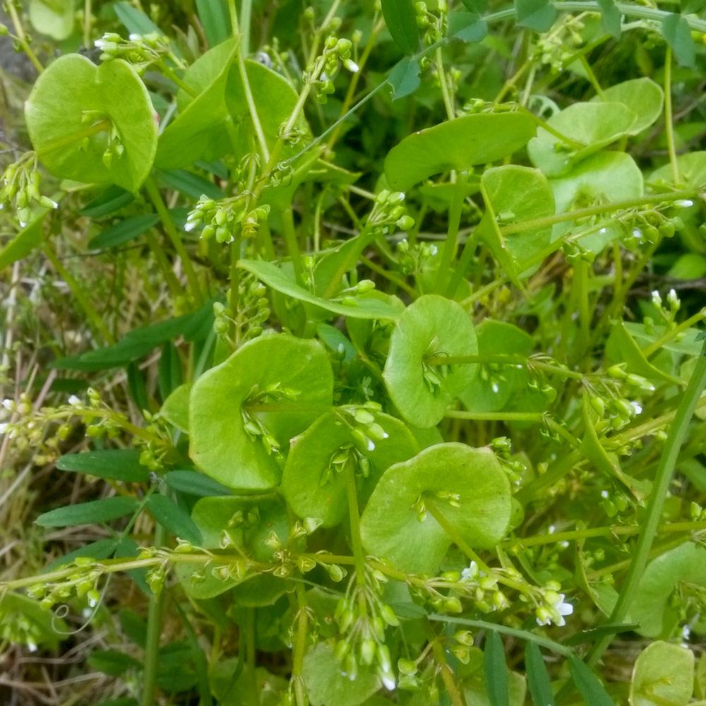 Deze winterpostelijn hier is al in bloei, wat je ziet aan het stengeltje dat van binnenuit het blad naar boven is gegroeid. Voordat dat gebeurt, is dit een goddelijke verrijking. Bovendien is het één van de meest vitaminerijkste planten die we kennen. Te koop bij de betere biowinkel in het voorjaar, en ook gewoon in alle bosranden in Nederland.