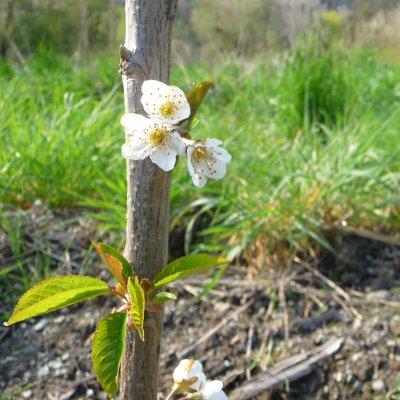 Een appelboompje in mijn voedselbos in bloei